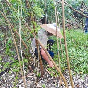 深圳湾公园清理外来入侵植物